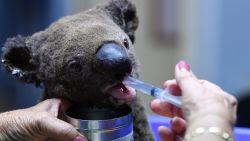 """Vlaming toont zich solidair: """"Schattige koala's en kangoeroes wekken medelijden op"""""""