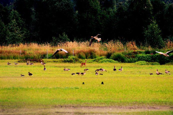 Kijk, een ree! Waar in het voorjaar en de zomer flamingo's in het water staan, lopen nu reeën en ganzen.