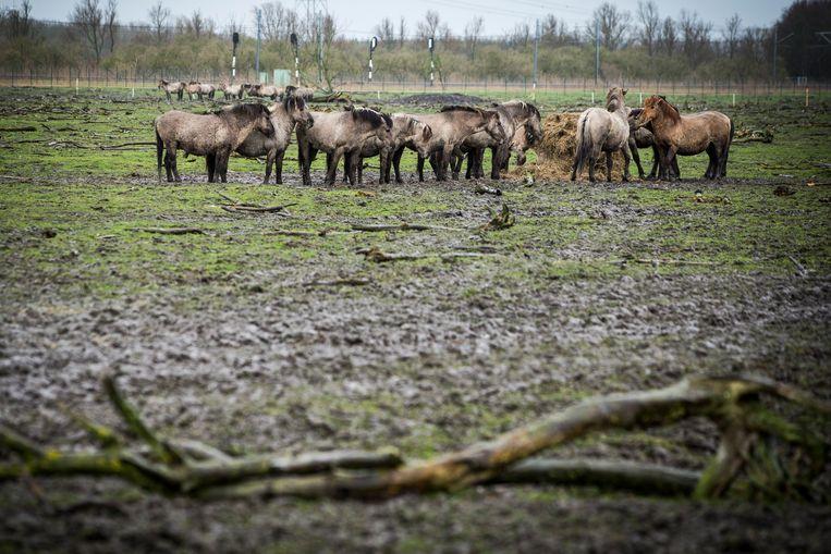 Konikpaarden in de Oostvaardersplassen. Beeld ANP