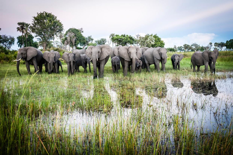 Olifanten in de Okavangodelta.