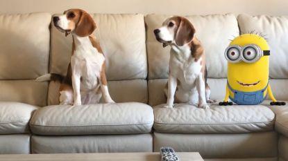 """""""De bekendste en grootste YouTuber van België is... een hond"""": deze twee Vlaamse beagles veroveren de harten van miljoenen kijkers"""