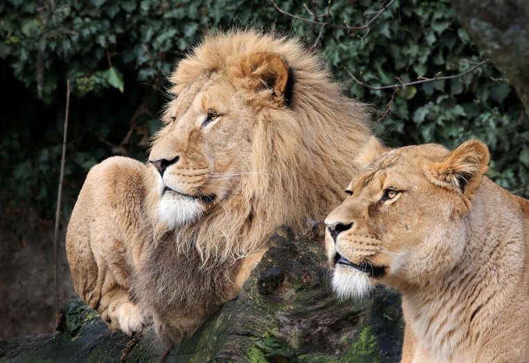 De leeuwen in hun verblijf in Artis. Beeld REUTERS