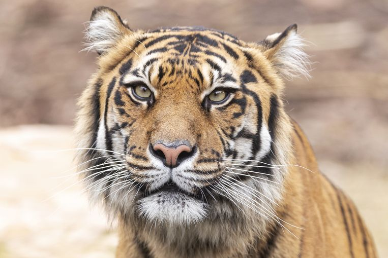 Een Sumatraanse tijger. Beeld EPA