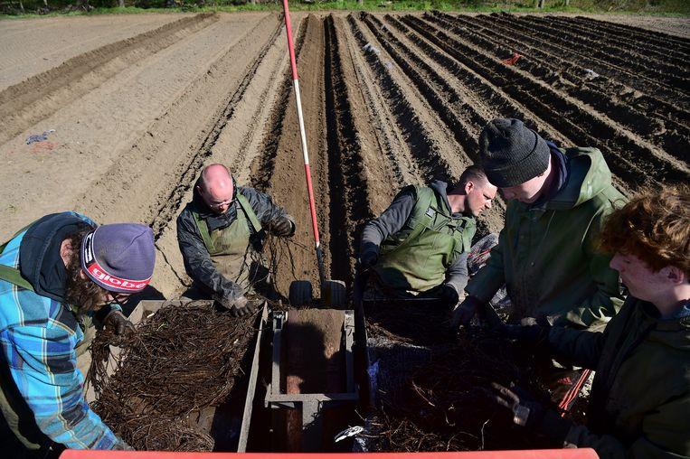 De wortelstokken van de aspergeplanten worden klaargelegd. Beeld Marcel van den Bergh
