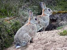 De konijnen zijn terug in de Voornse duinen