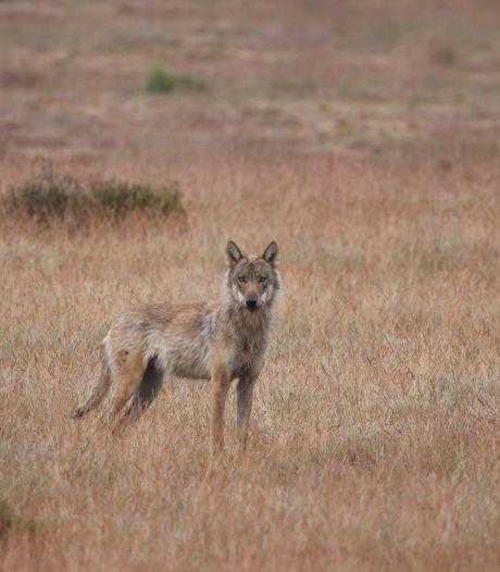 In Stroe zijn ze niet rouwig om de doodgeschoten wolf: 'Wegwezen met die beesten'