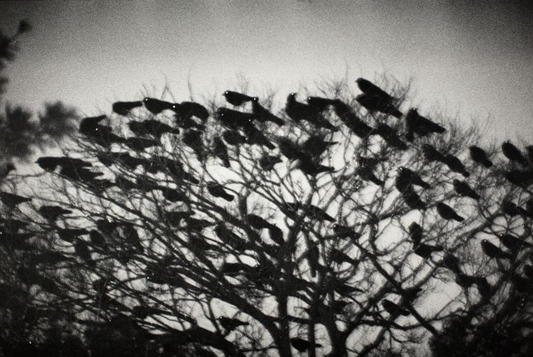 Kanazawa 1977, uit de serie Ravens  Beeld Masahisa Fukase Archives, Michael Hoppen Gallery London