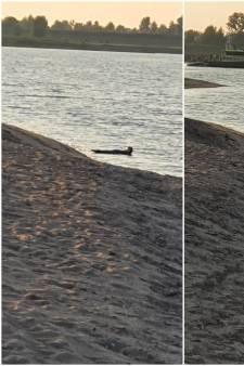 Hé, wat zwemt daar nou? Tijdens het vissen ziet Remko (34) ineens een zeehond in de Waal