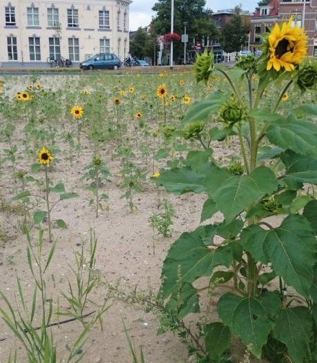 Zonnebloemen bij station op braakliggend terrein