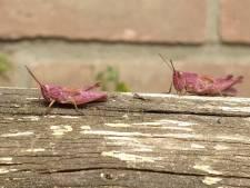 'Ja hij is echt roze', zeldzame sprinkhaan gespot in de tuin van Edo uit Deventer