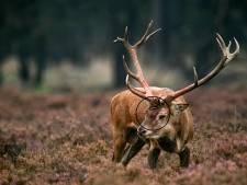 Jagers schieten recordaantal edelherten dood op Veluwe