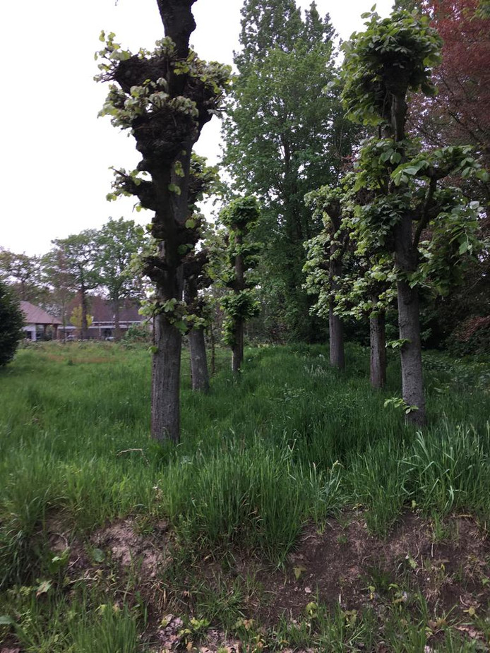 In een weiland groeien rustig de leilinden die ooit het plein voor het CultuurCentrum Zundert markeerden