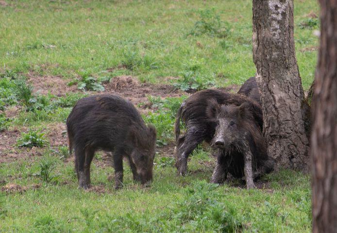 Wilde zwijnen kennen een hechte familieband, vergelijkbaar met die van olifanten.