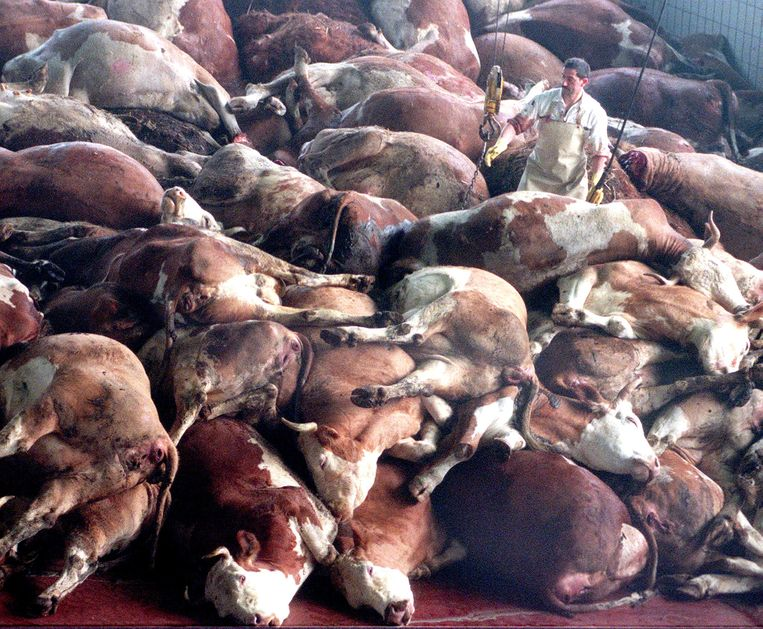 Slachtoffers van BSE, de gekke-koeienziekte. Beeld AP