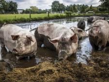 Schiphol gaat testen of varkens ingezet kunnen worden om vogels te verjagen