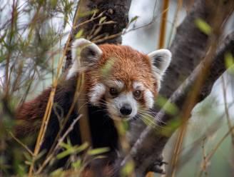 Duitse dierentuin is een rode panda kwijt