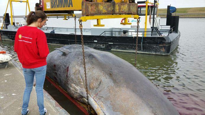 De potvis stierf dinsdagavond en is naar de haven van Harlingen versleept.