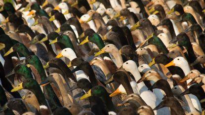 China wil 100.000 eenden inzetten tegen sprinkhanenplaag in Pakistan