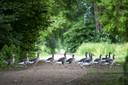 Overstekende ganzen bij de vijver bij sportcomplex Zuidveen.