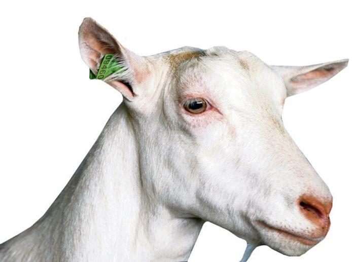 Alexander van der Schans wil aan de Molenstraat in Hurwenen 3400 melkgeiten houden.