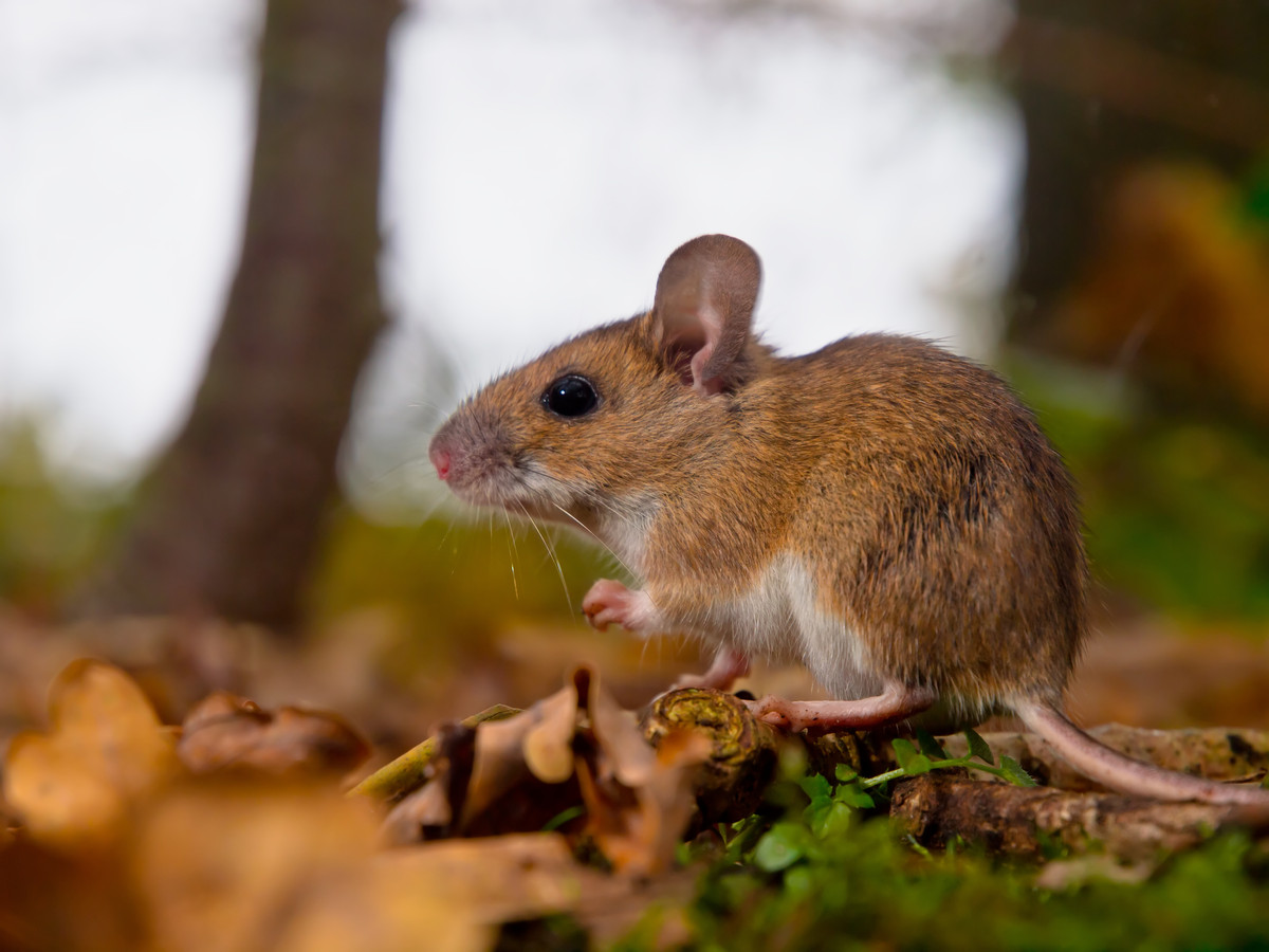 De grote bosmuis is een van de beschermde diersoorten die voorkomen op het Kloosterterrein. Van zijn leefterrein blijft niets over, zeggen omwonenden en natuurbeschermers.