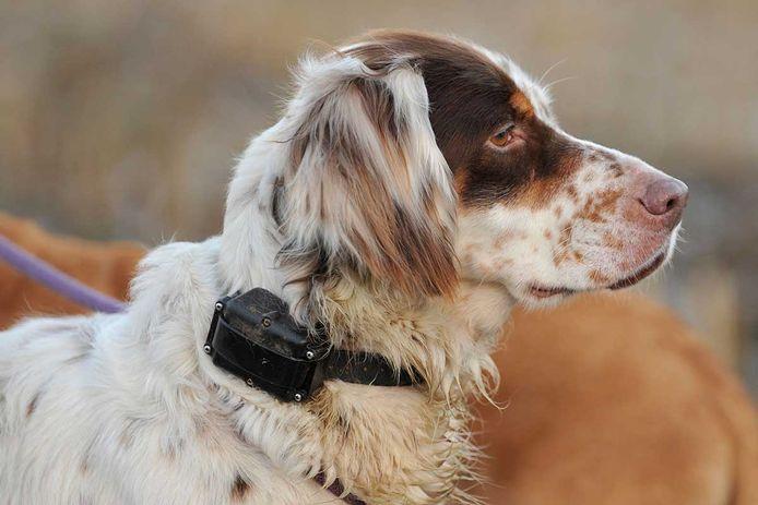 Een stroomhalsband geeft een elektrische schok wanneer het baasje de hond wil vermanen, of wanneer de hond zich buiten een bepaald terrein zoals een tuin zou wagen. Archiefbeeld.