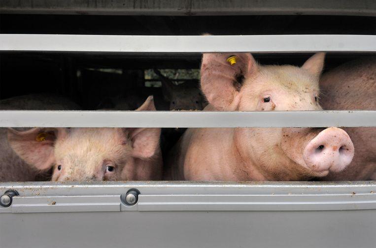 Varkens op transport in Limburg. De foto is ter illustratie en houdt geen verband met de zaak in Epe. Beeld Hollandse Hoogte / Flip Franssen
