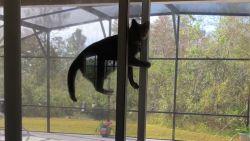 VIRAL3: Spiderkat tart zwaartekracht met ongelooflijke beklimming