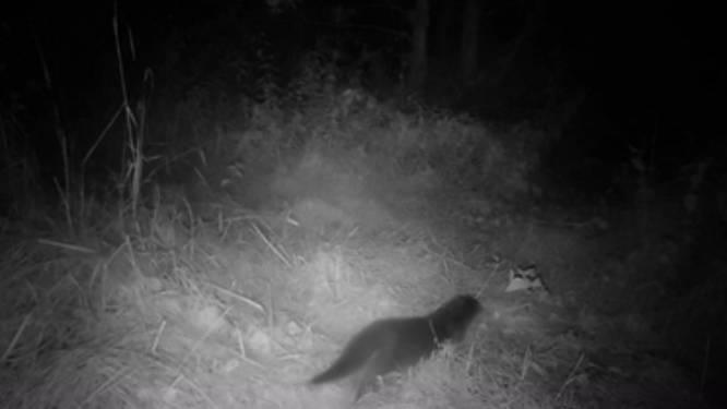 """Otter duikt op in Rupelstreek (én wordt vastgelegd op beeld): """"Teken van gestegen kwaliteit van onze natuurgebieden"""""""