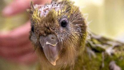 VIDEO. Kuikentje van met uitsterven bedreigde papegaaiensoort onderging hersenoperatie