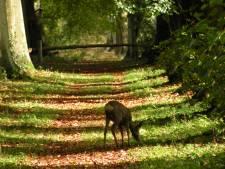 Hond bijt reekalf dood in Spanderswoud