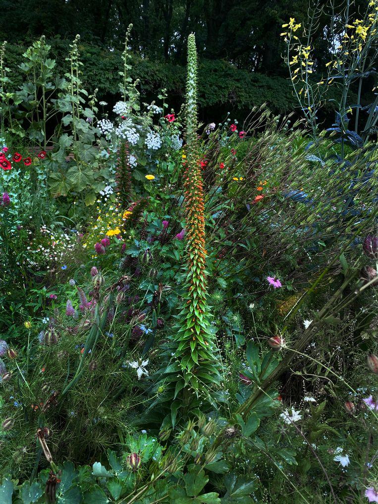 Digitalis parviflora. Beeld Elspeth Diederix