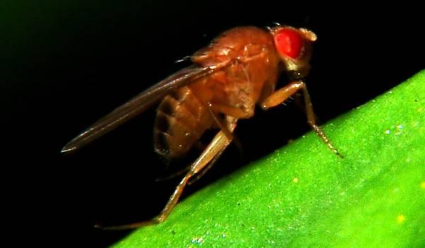 Het fruitvliegvrouwtje kijkt de kunst van partnerkeuze af
