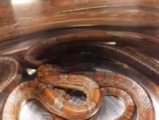 Geen vlam in de pan, maar slang in de pan
