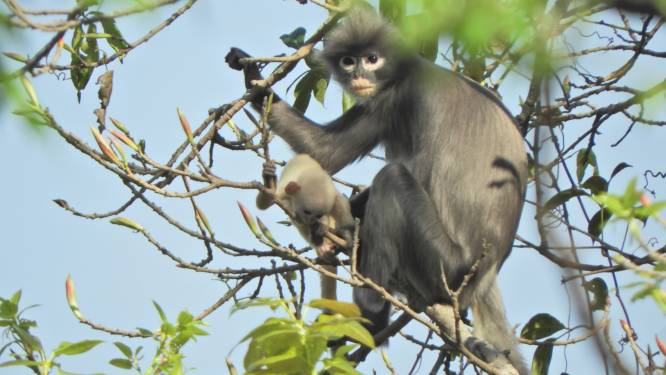 Nieuwe primaat ontdekt in Azië en hij is al meteen met uitsterven bedreigd