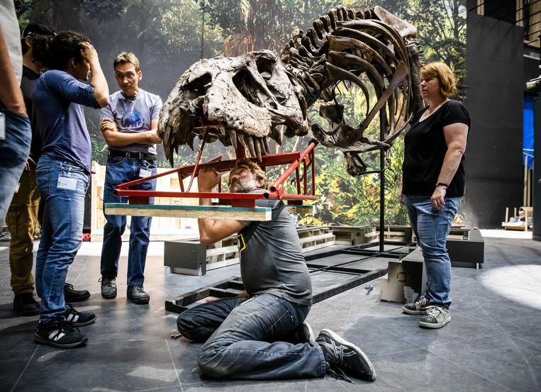 Het skelet van de Tyrannosaurus rex genaamd Trix wordt opgebouwd  Beeld ANP