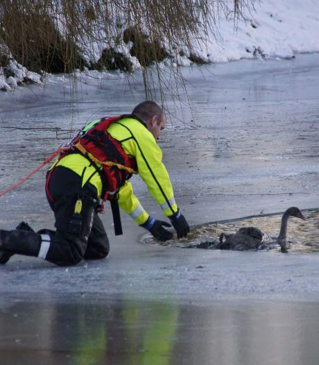 Brandweerlieden redden voor de derde keer hetzelfde 'avontuurlijke' zwaantje in Druten