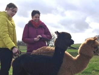 """Burn-outcoach uit Geetbets schakelt alpaca's in als therapiedieren: """"Deze beestjes merken negatieve energie onmiddellijk op"""""""