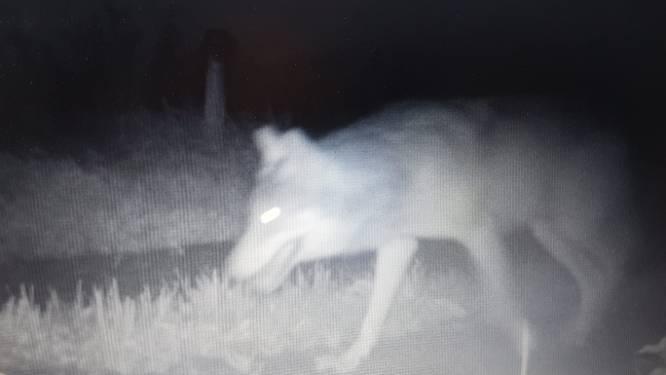 Wolf op beeld, vlak bij nieuwe slachtpartij Sallandse schapen: 'Wat gaat er allemaal nog komen?'