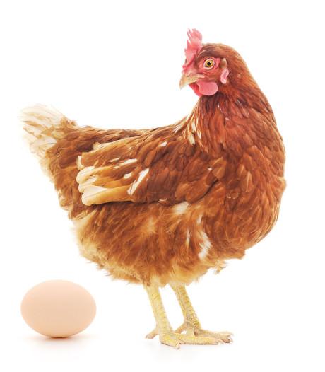 Doe-het-zelf-kip is populair: fok je eigen kip van ei tot slacht