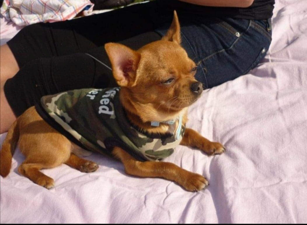 Chico, un chihuahua de 10 ans, est décédé d'un œdème pulmonaire à Soumagne, le samedi 12 juin 2021.