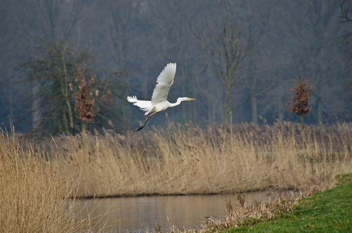 Grote Zilverreiger (Ardea alba) - 's-Graveland, Gooi en Vechtstreek, Noord-Holland, Nederland, Europa