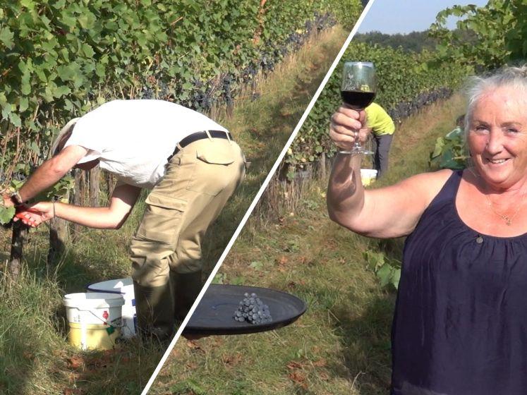 Wijn in zicht! De druivenoogst is begonnen