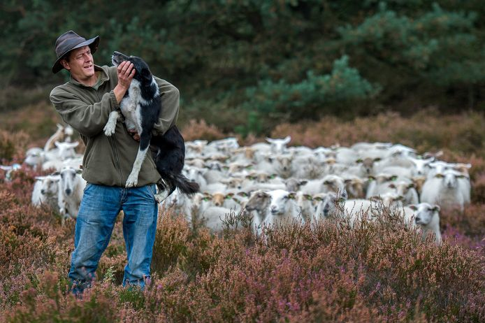 Schaapsherder Stijn Hilgers heeft zijn Kempische schapen vaarwel gezegd.