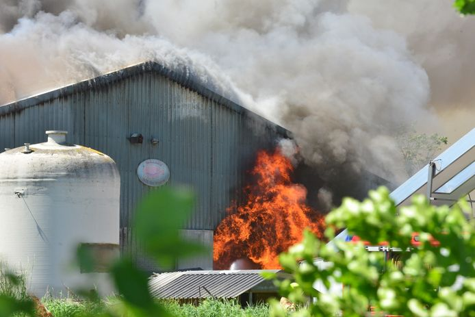 Een stal met 4600 varkens aan de Bloemerstraat in Nederweert is dinsdagmiddag rond 14.00 uur getroffen door een zeer grote brand.