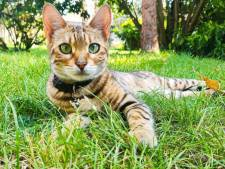"""Vermist Bengaals katje Cleo dood teruggevonden aan Stropkaai: """"Ze lag er nog niet lang"""""""