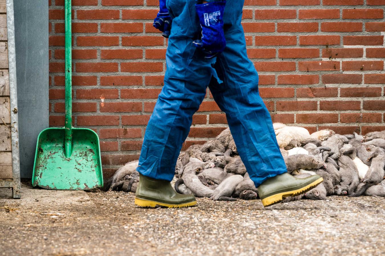Medewerkers van de NVWA zijn bezig met het ruimen van nertsen. Foto ter illustratie.