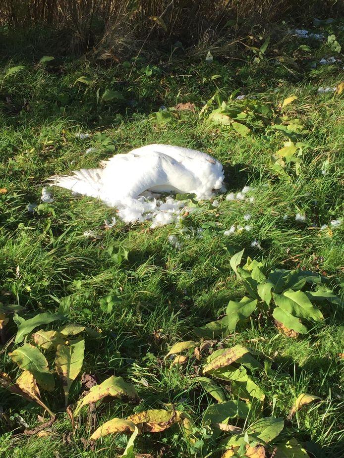 Foto ter illustratie: Een 76-jarige Zwollenaar wordt ervan verdacht dat hij bewust op een groep ganzen en zwanen inreed. Een zwaan bleek dusdanig gewond dat een dierenarts hem uit zijn lijden moest verlossen.