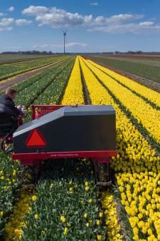 Tulpenseizoen van start in Flevoland, maar er is nog weinig te zien: 'Ze zijn extreem laat'