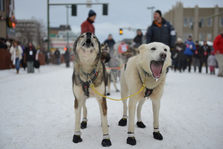 Mats Pettersson's lead dogs wait at the start line during the ceremonial start of the Iditarod dog sled race in Anchorage, Alaska, U.S. March 3, 2018.  REUTERS/Mark Meyer Beeld REUTERS